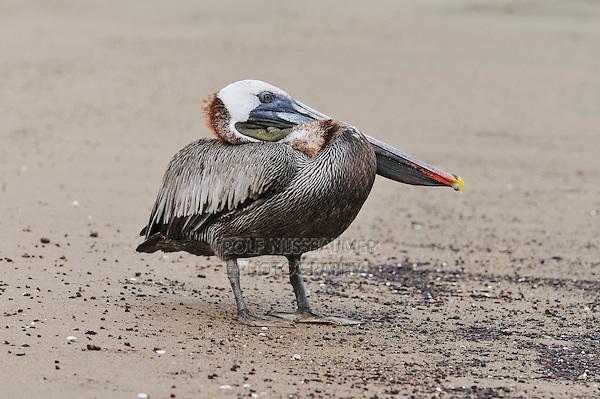 Brown Pelican (Pelecanus occidentalis), adult, Galapagos Islands, Ecuador, South America