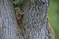 Baummarder, Baum-Marder, Edelmarder, Edel-Marder, Marder, Martes martes, European pine marten