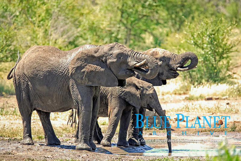 African elephants (Loxodonta africana), herd drinking at a watering hole, Kruger National Park, South Africa, Africa