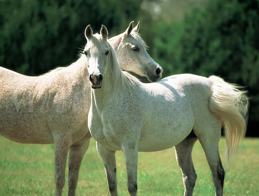 Pair of Arabian horse mares standing close together in open paddock.