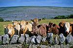 Ireland, County Clare, The Burren: Cows in field amongst typical Burren landscape | Irland, Conty Clare, The Burren, einzigartige Karstlandschaft: Kuehe in typischen Burren-Landschaft