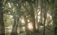 Sunrays penetrating through soft mist in goblin forest on Panekiri Bluff, Te Urewera, Hawke's Bay, North Island, New Zealand, NZ