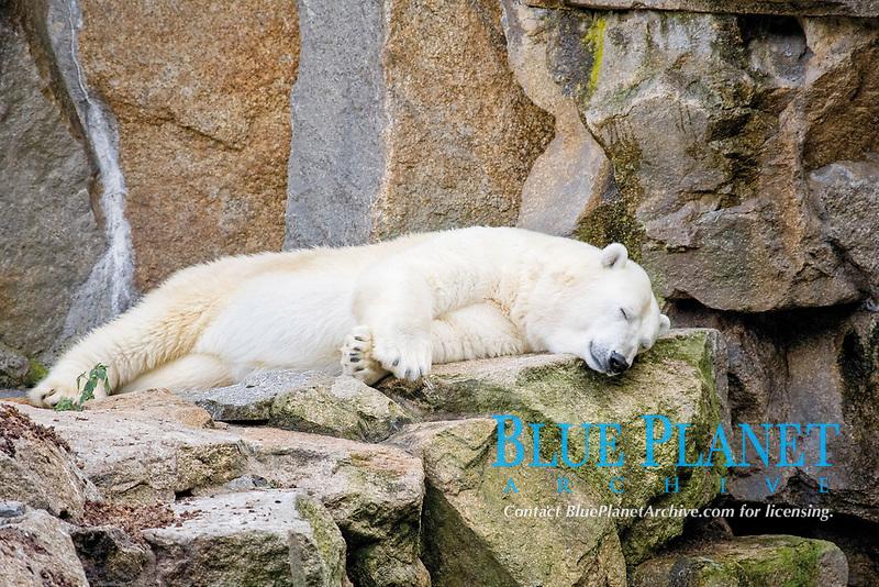 Polar bear at the Zoo in Berlin, Germany, Europe