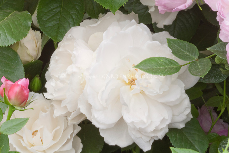 Rose 'Princess of Wales' named for Princess Diana