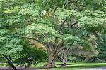 Painted Maple trees at the Arnold Arboretum in the Jamaica Plain neighborhood, Boston, Massachusetts, USA