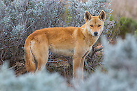 Dingo in the blue bush country of the Nullarbor Plain in Western Australia