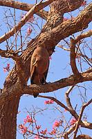 Savannah hawk in Pantanal Brazil savannah hawk in Pantanal Brazil