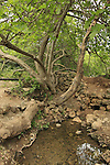 Israel, Jerusalem Mountains, Fig tree in Ein Mata (Mata spring)