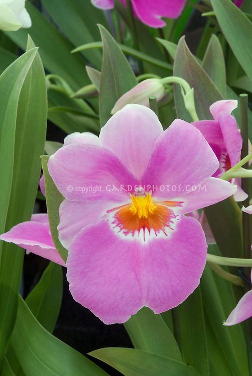 Miltonia Second Love 'Tokimeki' Miltoniopsis orchid hybrid single one flower amid foliage leaves