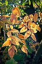 Autumn foliage of Potanin sumach (Rhus potaninii), early November.