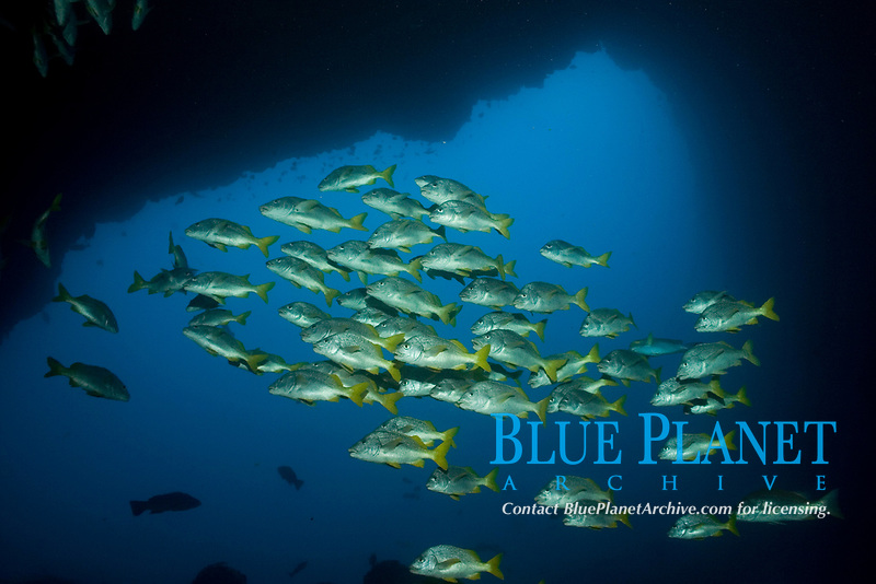 yellowtail grunt, Anisotremus interruptus, cocos island, costa rica, pacific ocean