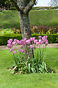 Pink tulips at the foot of an apple tree, Pigeon House Garden, Rousham House and Gaerden.