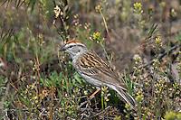 Chipping Sparrow (Spizella passerina).  Western U.S., summer.
