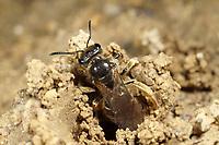 Fransen-Schmalbiene, Langlebige Schmalbiene, Nest, Schmalbiene, Schmalbienen, Furchenbiene, Furchenbienen, Lasioglossum marginatum, Furrow Bee, Furrow Bees