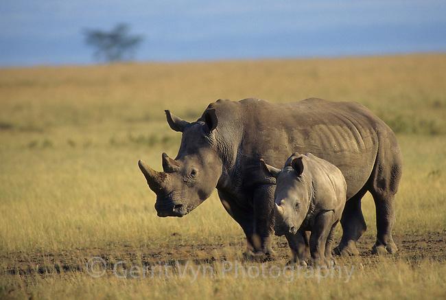 Southern White Rhinocerous (Ceratotherium simum) with calf. Lake Nakuru National Park, Kenya.