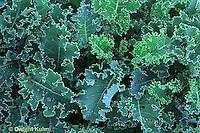 HS21-429x  Kale - Winterbor variety