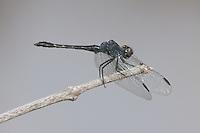 Seaside Dragonlet (Erythrodiplax berenice) Dragonfly - Male, Merritt Island National Wildlife Refuge, Titusville, Brevard County, Florida