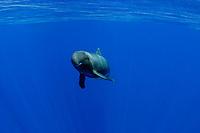 pygmy killer whale, Feresa attenuata, in blue water off Kona, Hawaii (Pacific Ocean) (dm)