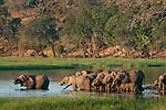 African elephant herd drinking at the Chobe River, Chobe National Park, Botswana. (This species is found in many African countries including South Africa, Botswana, Zambia, Zimbabwe, Namibia, Tanzania, Kenya, Rwanda, Uganda, Angola, Democratic Republic of Congo)