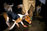 'DUKE OF BEAUFORT HUNT', PROFESSIONAL HUNTSMAN, CHARLES WHEELER REMOVING THE DOMINANT HOUNDS TO ENSURE THE WHOLE PACK HAS A FAIR CHANCE AT THE MEAT
