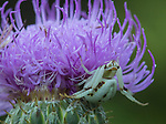 Crab Spider on a Bull Thistle flower