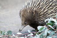 Mierenegel (Tachyglossus aculeatus), Australi'