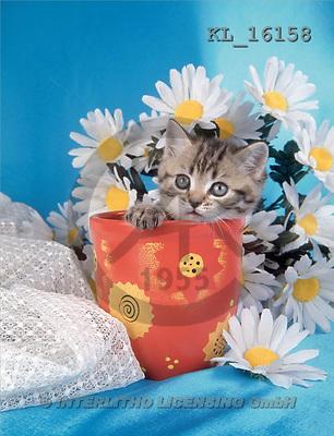 Interlitho, ANIMALS, cats, photos, cat, marguerites(KL16158,#A#) Katzen, gatos