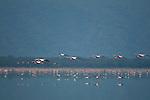 Flamingos in Lake Manyara, Africa