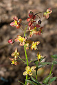 Orange and yellow flowers of Epimedium x warleyense, also known as bishop's hat or barrenwort, mid April.