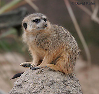 0214-08qq  Meerkat on Lookout, Suricata suricatta © David Kuhn/Dwight Kuhn Photography