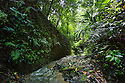 A rainforest stream, habitat of the Granular Poison Frog {Oophaga granulifera}. Osa Peninsula, Costa Rica. May.