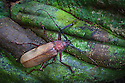 Longhorn Beetle {Cerambycidae} Danum Valley, Sabah, Borneo, Malaysia.