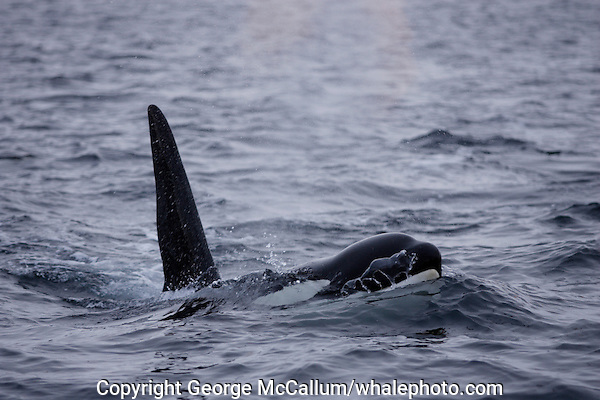 Adult male killer whale Orcinus orca surfacing to breathe. Tysjord, Arctic Norway