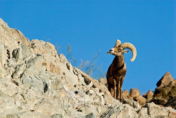 Desert Bighorn Sheep ram (Ovis canadensis nelsoni