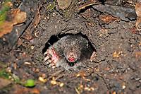 European mole, Talpa europaea, looking out of burrow, North Rhine-Westphalia, Germany, Europe