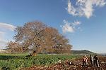 Israel, the Lower Galilee. An Arab family by the Atlantic Pistachio (Pistacia Atlantica) tree in Beth Natofa valley.