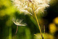 Salsify seed falls from seed head.
