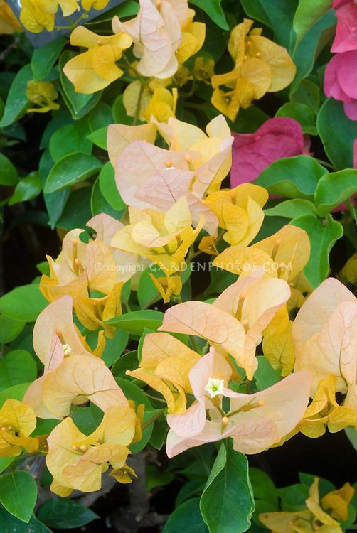 Bougainvillea 'Golden Tango'