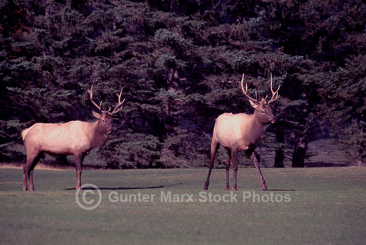 Banff National Park, Canadian Rockies, AB, Alberta, Canada - Two Bull Elk, Wapiti (Cervus canadensis) in Fighting Stance, on Banff Springs Golf Course
