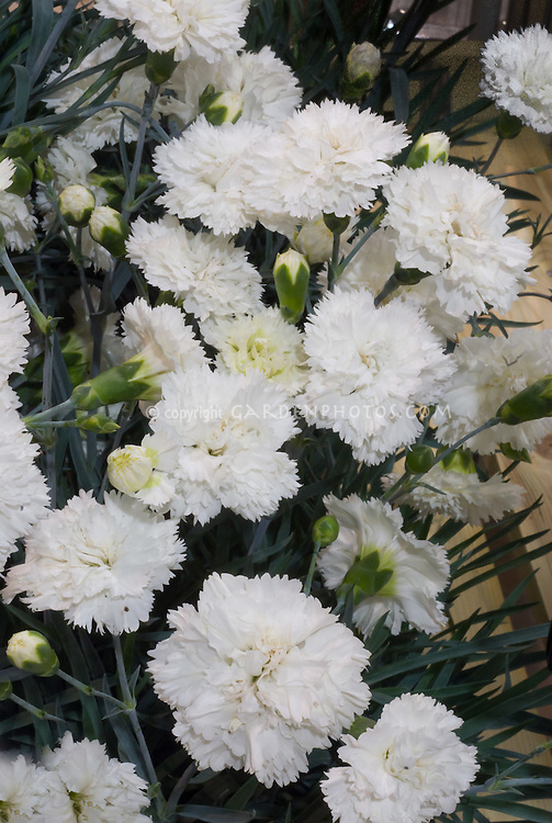 Dianthus 'Memories' Scent First series, white double flowered