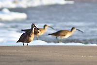 A whimbrel with a beak-full at Pomponia State Beach, California.