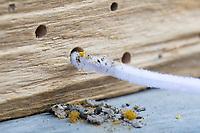 Wildbienen-Nisthilfe mit einem Pfeifenputzer reinigen, Reinigung einer Niströhre, Neströhre. Eine Neströhre in einer Wildbienen-Nisthilfe wird gereinigt, damit wieder Platz für die Besiedlung ist. Alte Nestverschlüsse, Dreck, abgestorbene Tierchen und die Kotschnüre der Taufliege Cacoxenus indagator werden entfernt. Pflege, Reinigung, Wartung. Wildbienen-Nisthilfen, Wildbienen-Nisthilfe, Wildbienenhotel, Insektenhotel, Wildbienen-Hotel, Insekten-Hotel, Wildbienenstation, Wildbienen-Station