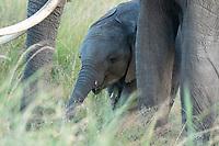 African Elephant adult and calf, Loxodonta africana, in Maasai Mara National Reserve, Kenya