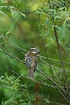 Immature rose-breasted grosbeak - male