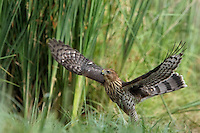 Among the bird world's most skillful fliers, Cooper's Hawks are common woodland hawks that tear through cluttered tree canopies in high speed pursuit of other birds.
