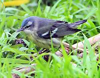 Female cerulean warbler in spring migration