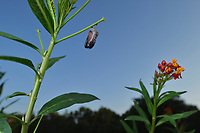 Queen (Danaus gilippus), butterfly emerging from chrysalis on Tropical Milkweed (Asclepias curassavica), series, Hill Country, Central Texas, USA