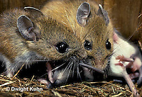 MU28-143z   White-Footed Mouse - with young -  Peromyscus leucopus