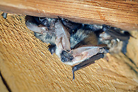 Alpine long-eared bat (Plecotus alpinus), Austria, Europe