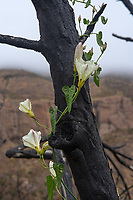 Morning Glories and Burnt Tree